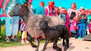 Oplev fårene komme på græs