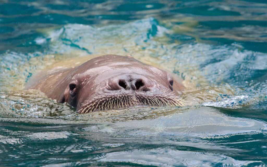 Hvalros: Sjælden gæst retur i Hvide Sande, en hvalros er blevet til endnu flere